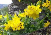 Arnebia pulchra Botanisk hage 9.6.17