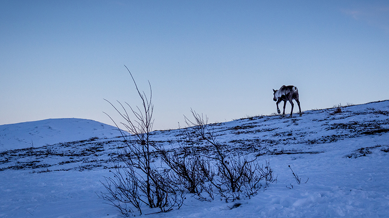 Reindeer in winter landscape