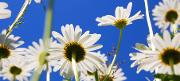 mostphotos.com.daisy-flower-in-summer.jpg