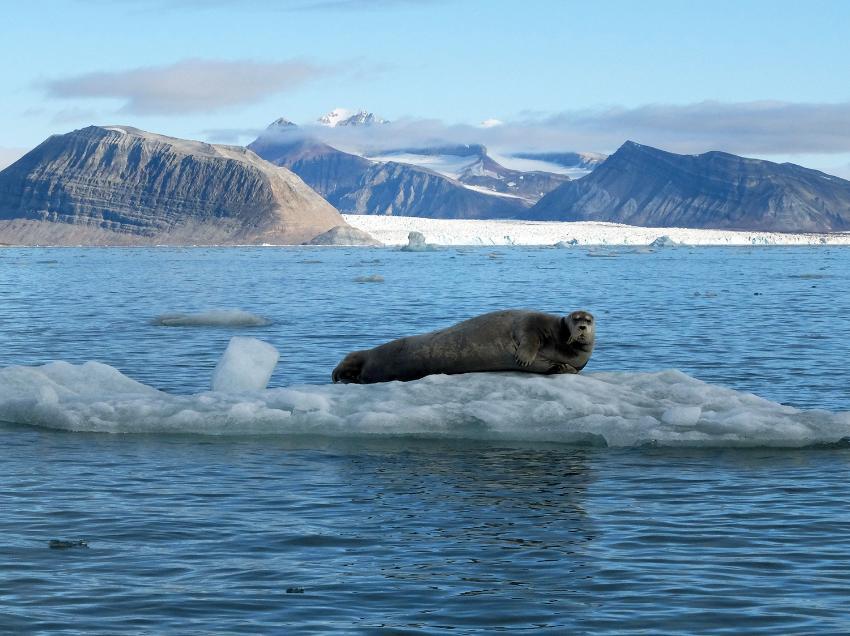 Bearded seal on ice floe in Svalbard