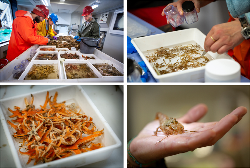 Sorting the catch of a bottom trawl according to species takes time but is the only way to get an understanding of how these animals survive the harsh Arctic conditions and how climatic changes may affect them.